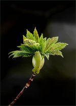 Gwyndaf Roberts - Horse Chestnut in springtime