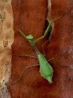 Praying Mantis on a gum tree