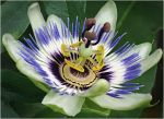 "Mervyn Harrison - ""Passiflora"""